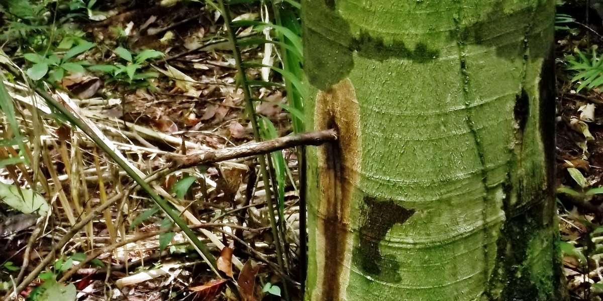 Bálsamo da Amazônia: Os Benefícios do Óleo de Copaíba